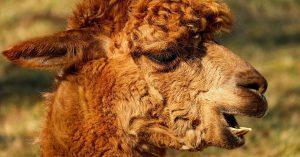 alpaca-2214650_1280