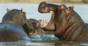 hippopotamus-95472_1280