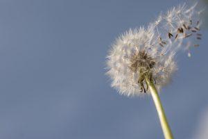 selective-focus-photography-of-dandelion-705187