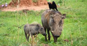 Wildschwein artikel