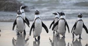 Pinguin BB
