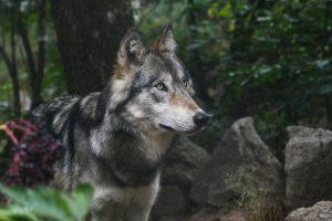wolf-2782626_1920