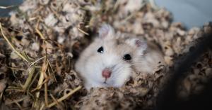 uitgelicht hamster