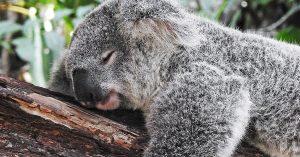 Header koala zonder post