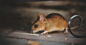 uitgelicht_muizen
