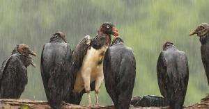 Header Vulture